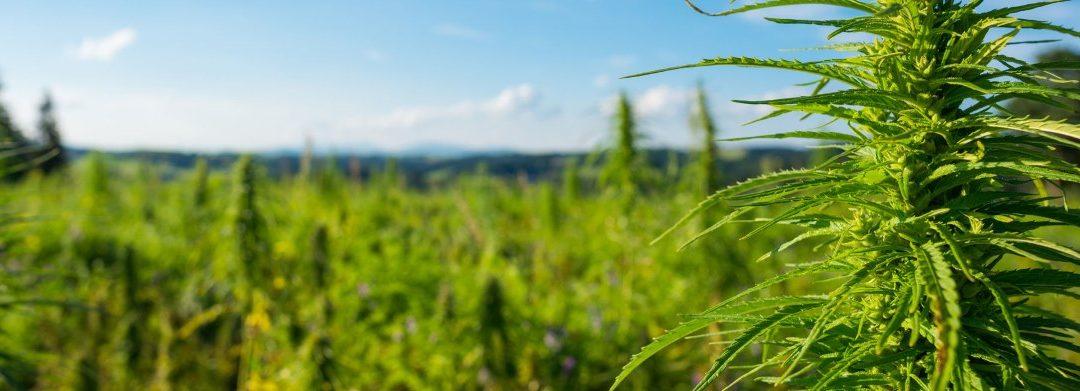 Medical Marijuana vs Recreational