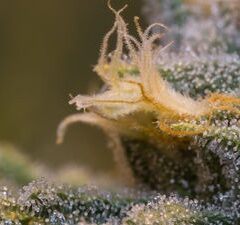 A Complete Guide to CBG Flower
